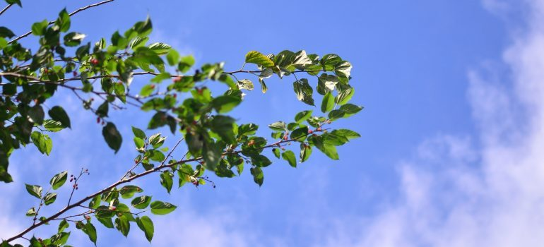 mulberry is one of the best trees to plant in Southern California